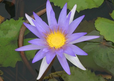 Lotus Flower Reflections