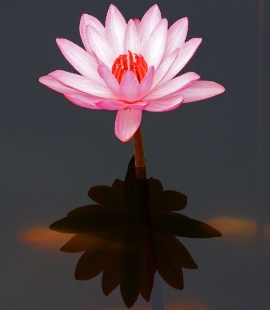 Symbolic significance of lotus flowers sinxay but we want to begin this section by looking at the beautiful lotus flower mightylinksfo Images